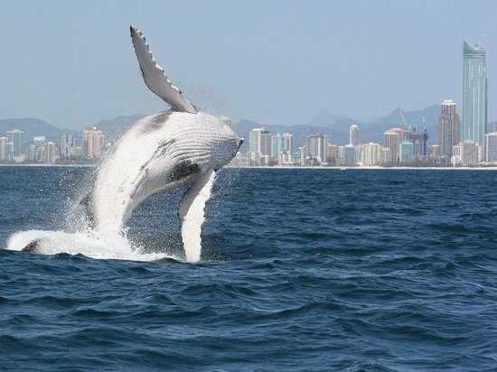 Spirit of Gold Coast Whale Watching: Whale breach and the Gold Coast Skyline