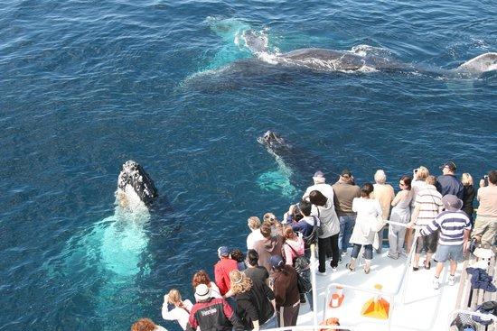 Spirit of Gold Coast Whale Watching: Whales around the boat!