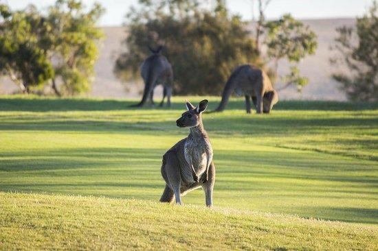 Wirrina Hotel & Golf Resort: Kangaroos at the Golf Course
