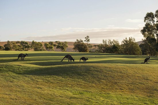 Wirrina Hotel & Golf Resort: Kangaroos on the Golf Course