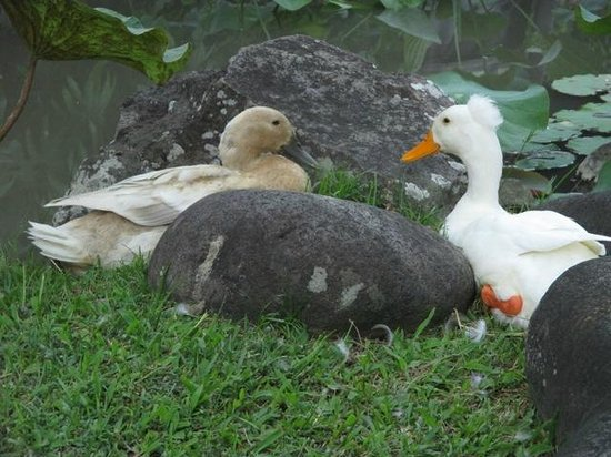 Il Giardino: Pet ducks, Salt & Pepper