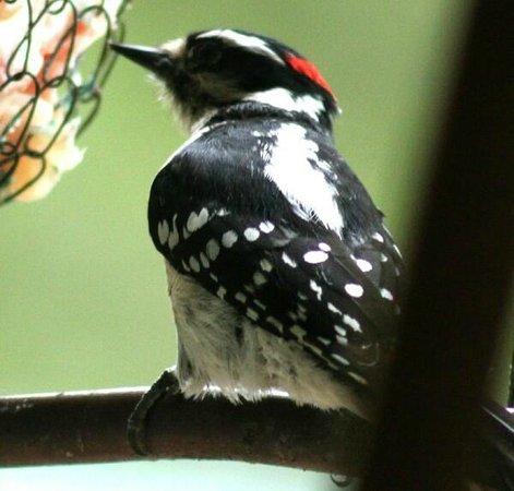 South Hazelton, Canada: Woodpecker Feeding by window