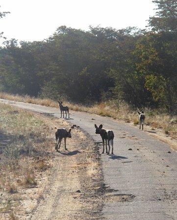 Camp Hwange : the pack