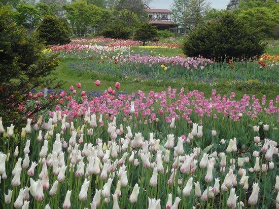 Shichiku Garden : チューリップ
