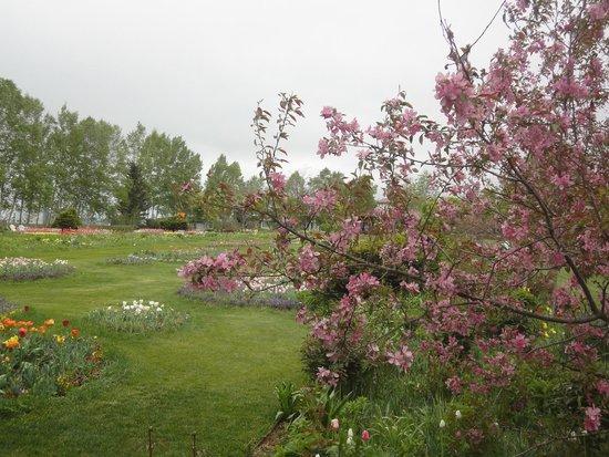 Shichiku Garden : 八重桜