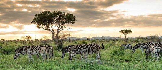 Royal Madikwe Luxury Safari Lodge: Zebra & Sunset