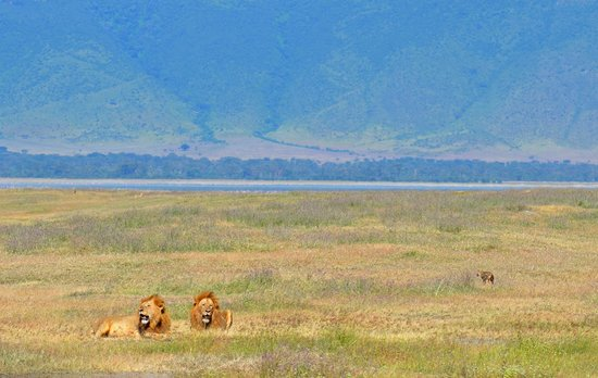 Ngorongoro Crater: Lions in the crater