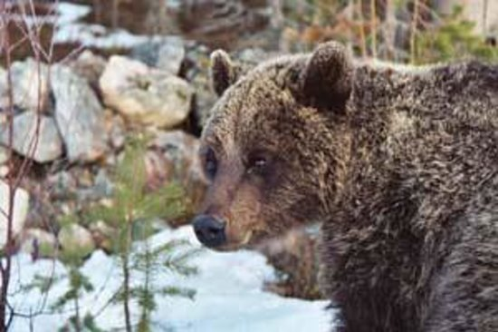 Orsa, Swedia: get fascinated about bears and learn about the recent research