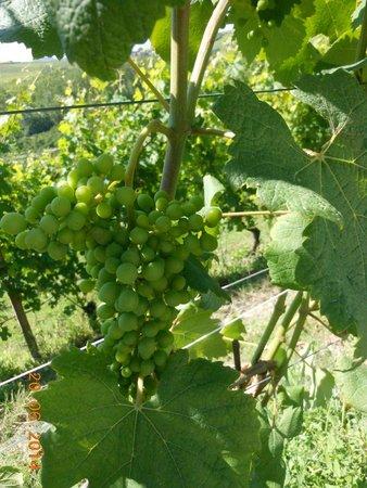 Azienda Agricola Osvaldo Viberti : grappolo nebbiolo serra dei turchi