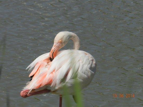 Le Parc Ornithologique de Pont de Gau : fenicottero-primo piano-