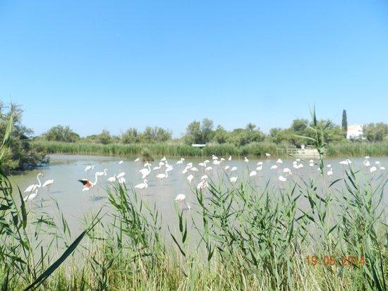 Le Parc Ornithologique de Pont de Gau : palude con fenicotteri