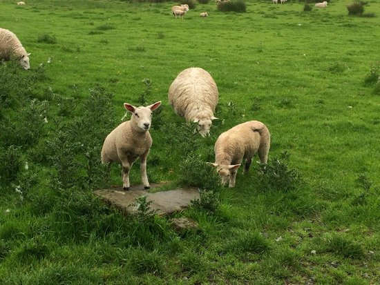 A few woolly residents of Hadrian's Wall
