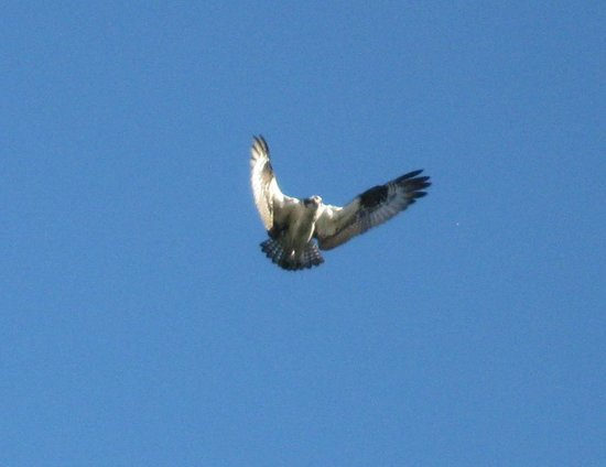 Doubletree Missoula/Edgewater: Osprey over the Clark Fork