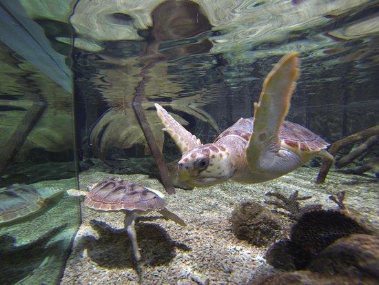 Oceanarium: Baby Loggerhead Turtles