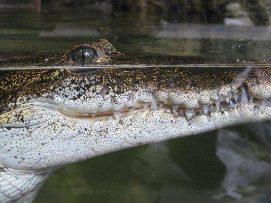 Oceanarium: Morlet's Crocodile