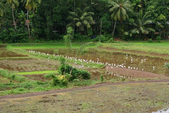 Green View Home Stay : Birds at the fields
