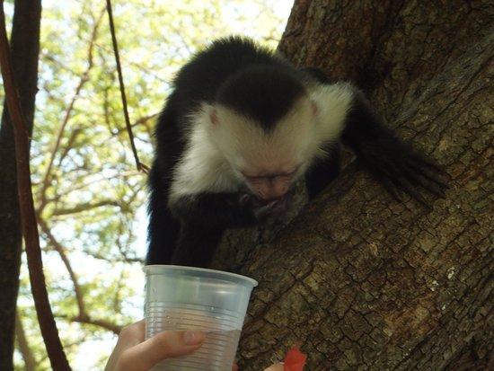 Allegro Papagayo : Monkey