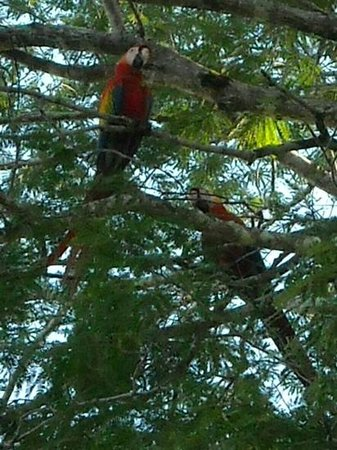 El Remanso Lodge : We saw many beautiful macaws on the bird watching tour.