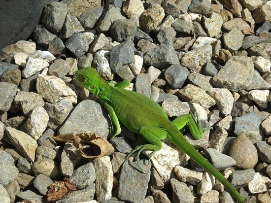 El Remanso Lodge : There are many small lizards darting all over the paths