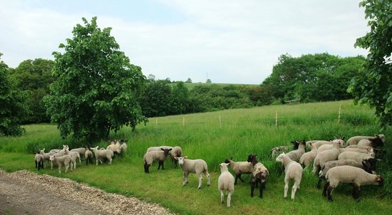 Park Farm Bed and Breakfast: Lambs playing in the evening
