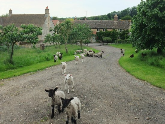 Park Farm Bed and Breakfast: Lambs exploring their new home...
