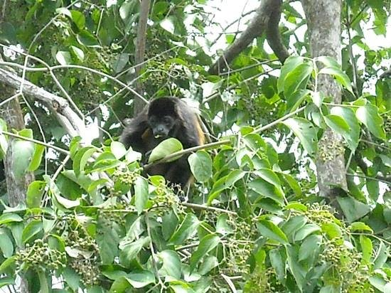 El Remanso Lodge : Howler monkey