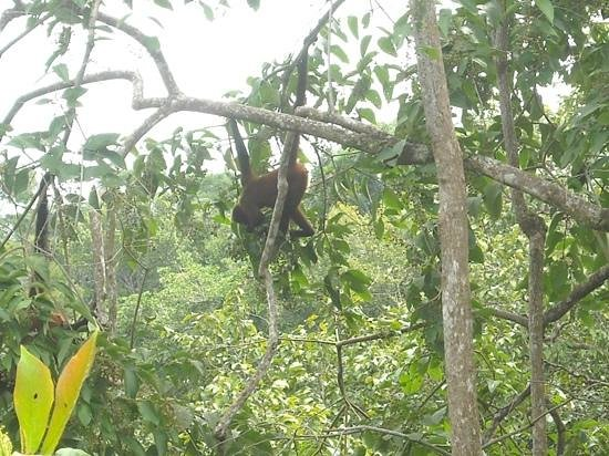El Remanso Lodge: Spider Monkey