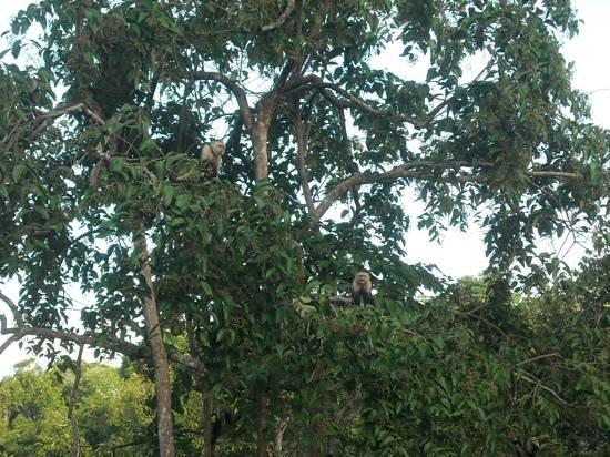 El Remanso Lodge : Whitefaced Monkeys