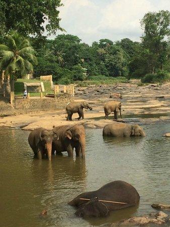 Pinnawala Elephant Orphanage: elephant bathing
