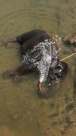 Pinnawala Elephant Orphanage: bathing time!