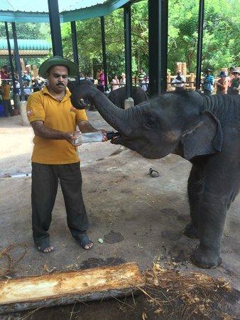 Pinnawala Elephant Orphanage: milk-feeding in Orphanage