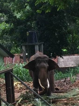 Pinnawala Elephant Orphanage: Tusk