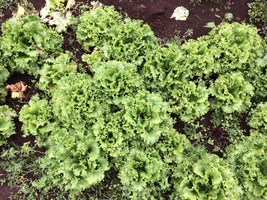 O'o Farm: greens