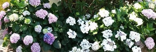 Semiramis Hotel de Charme Ischia : Blumenpracht im Hotel Seramanis