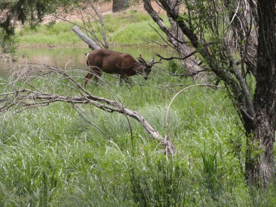 Housekeeping Camp: Deer right in front of our room by river