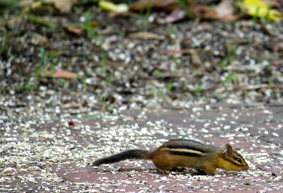 Lots of chipmunks picture of wing haven garden and bird - Wing haven gardens and bird sanctuary ...