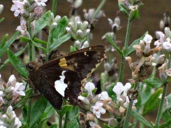 Snowbird Mountain Lodge: Butterflies love the perennials