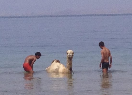 Habiba Beach Lodge: Camel cool down