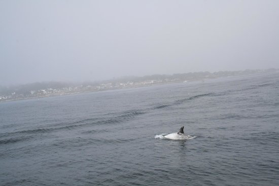 Monterey Bay Whale Watch : Risso's Dolphin
