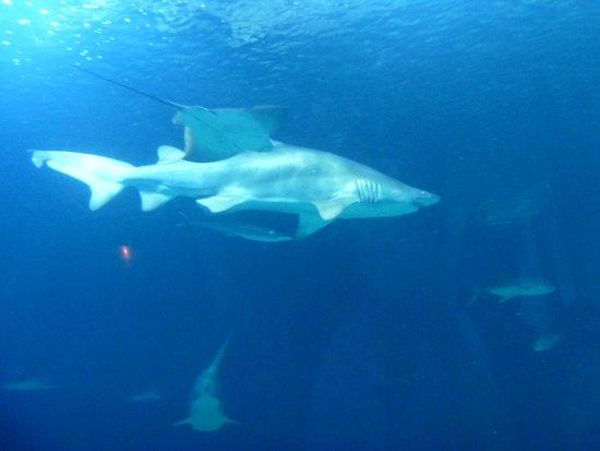 Oceanografic: Tiburonsin