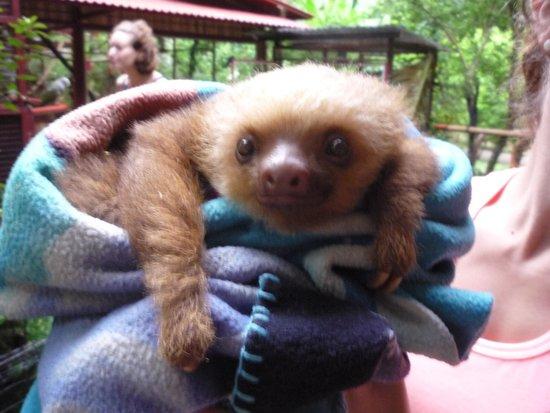 Fundación Jaguar Rescue Center: Baby sloth
