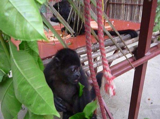 Fundación Jaguar Rescue Center: Howler monkey