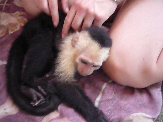 Fundación Jaguar Rescue Center: Capuchin monkey