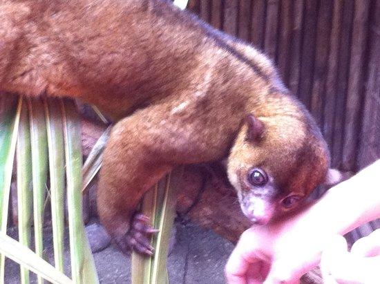 Fundación Jaguar Rescue Center: Honey bear