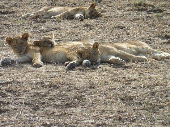 Mchenja Bush Camp - Norman Carr Safaris: The lions cubs and us close up