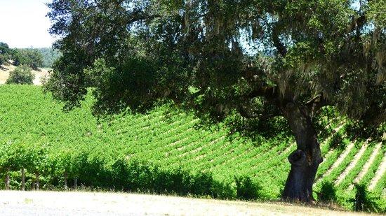 Healdsburg Wine Tours: Oak tree in the vineyards