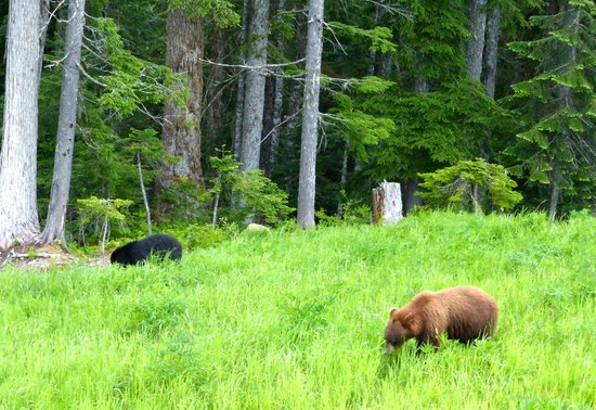 "Whistler Blackcomb: Black and brown ""black bear""#3 and #4"