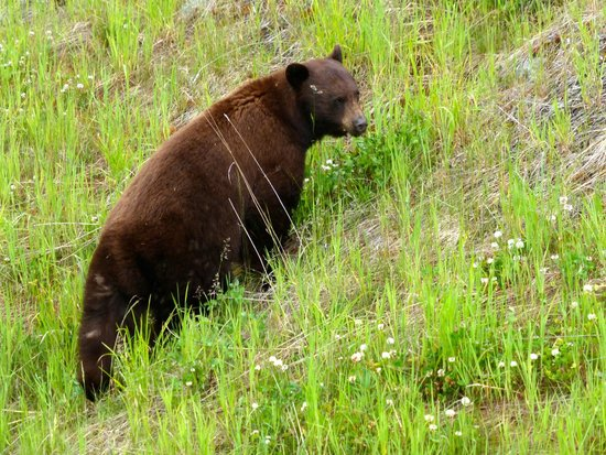 Whistler Blackcomb: Bear #6 (actually observed 8 on our tour)