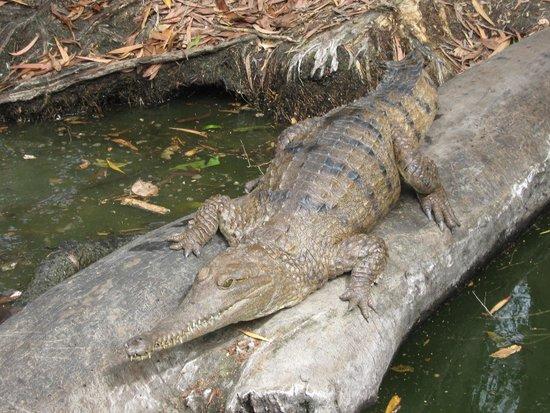 Hartley's Crocodile Adventures: Freshwater croc