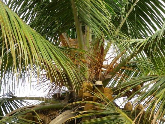 juSTa Off MG Road, Bangalore: Die Kokosnüsse zum Greifen nahe.
